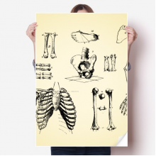 Human Skeleton Medical Sketch Sticker Poster Decal 31x22